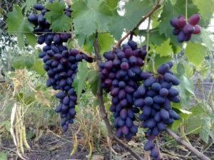 Описание и тонкости выращивания винограда сорта триумф