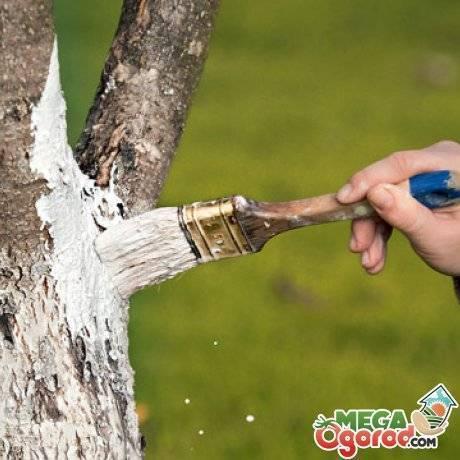 Как правильно побелить деревья в саду: описание, сроки (осенью, весной), составы, подготовка, инструменты | (фото & видео)
