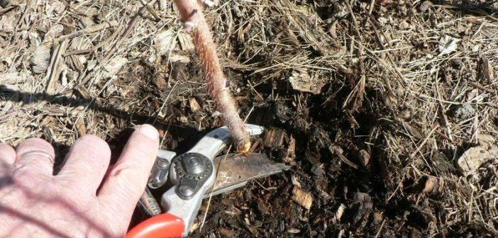 Как правильно обрезать малину осенью – инструкция для начинающих