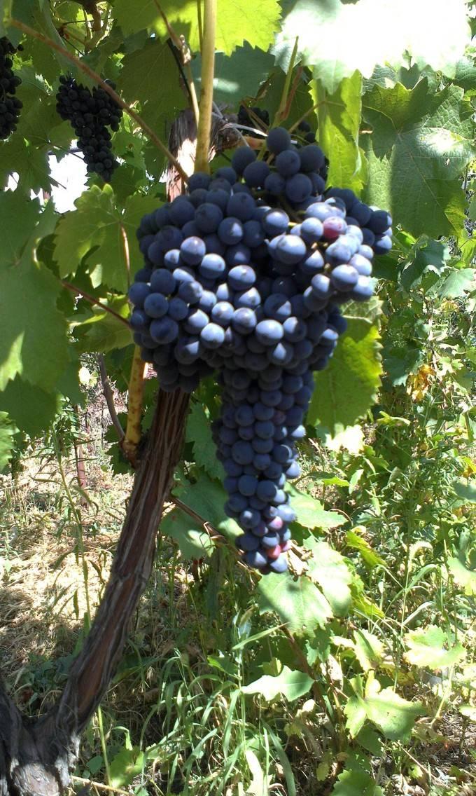 Урожайность винограда с куста, с гектара