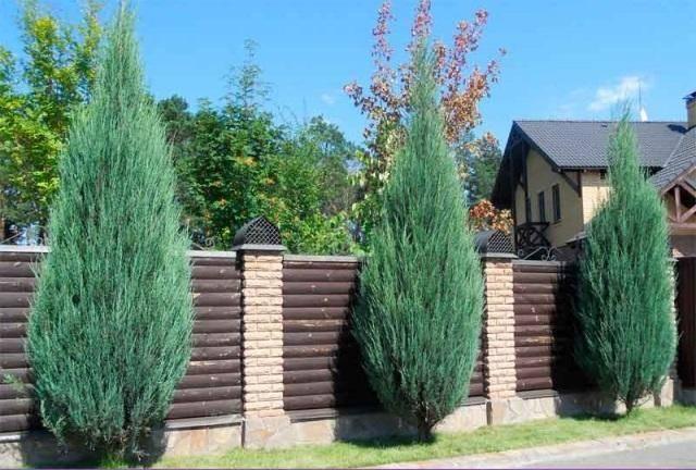 Можжевельник скайрокет (juniperus skyrocket): описание, фото и применение в ландшафте + посадка и уход, отзывы дачников