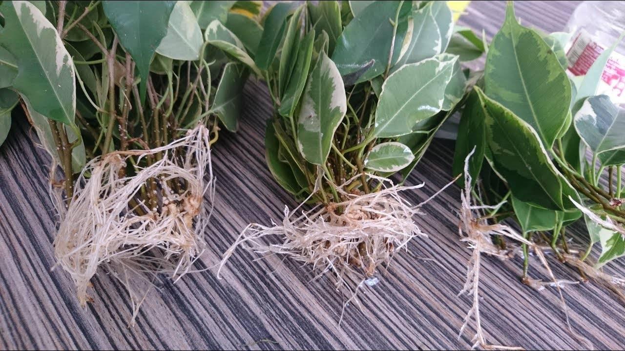 Как размножить фикус в домашних условиях: черенками, листьями, фото, видео