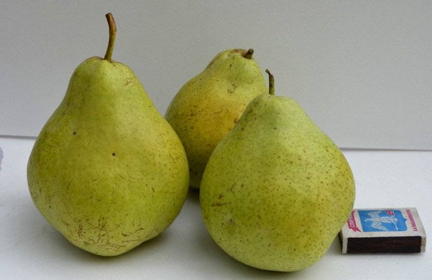 Характеристика сорта груш Виктория