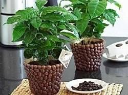 Кофейное дерево - выращивание и уход в домашних условиях, болезни