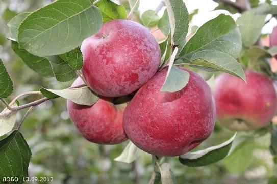 Сорт яблони лобо: описание, отзывы, особенности, фото
