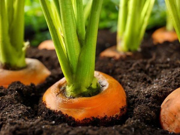 Морковь цветет: фото и разъяснение, когда и почему корнеплод идет в стрелку, а также рекомендации, что и как делать для профилактики и решения проблемы русский фермер