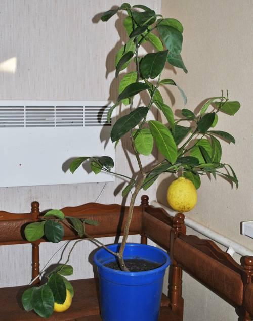 Как вырастить лимон из косточки в домашних условиях и будет ли он плодоносить без, как посадить и прорастить косточку дома
