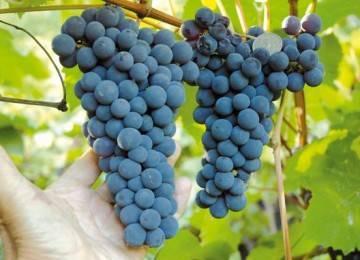 Виноград левокумский: описание сорта, посадка и уход