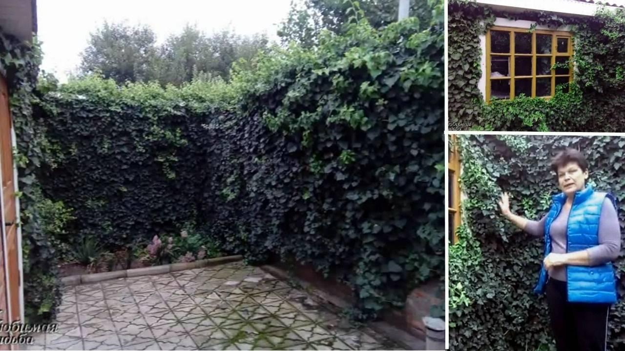 Плющ садовый вечнозеленый — размножение, посадка и уход