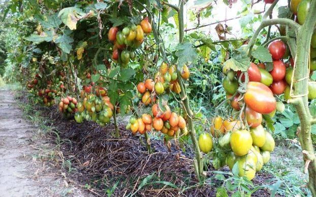 Подкормка помидоров дрожжами: рецепт, как ее приготовить в домашних условиях для рассады и взрослых томатов, когда и как вносить удобрения в теплице, после пикировки русский фермер