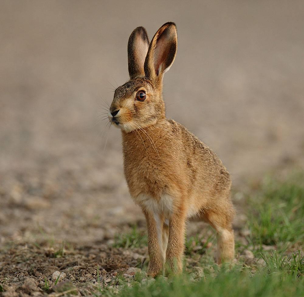 Заяц – описание, виды, чем питается, окраска, фото