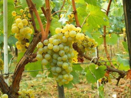 Сорта винограда для вина: описание лучших сортов и секреты их выращивания. 110 фото и видео инструкция по посадке и выращиванию винного сырья