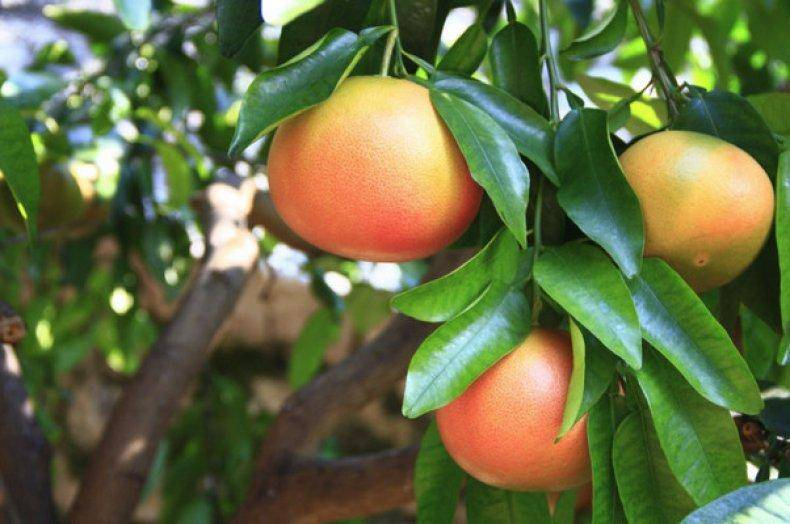 Как вырастить грейпфрут из косточки в домашних условиях - сад
