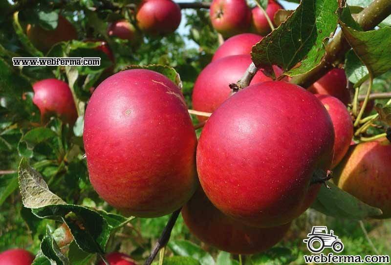 Яблоня услана: описание, отзывы, плюсы и минусы