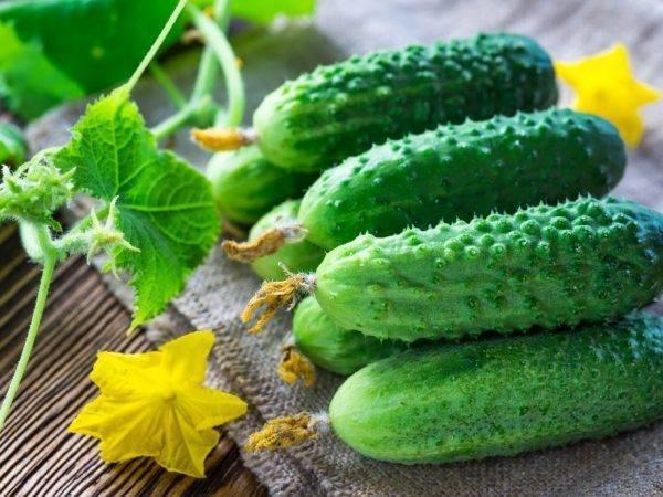 Пучковый огурец мэлс f1: отзывы, описание сорта, специфические особенности и выращивание