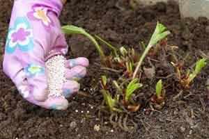Как ухаживать за клубникой весной: подкормка, обрезка, обработка от вредителей