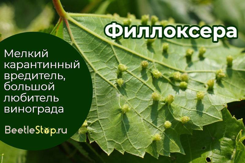 Филлоксера - признаки и методы борьбы русский фермер