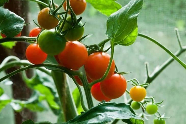 Почему помидоры сбрасывают цветы и завязи