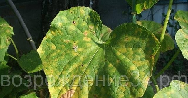 Пероноспороз огурцов: чем опасна инфекция, как лечить растения