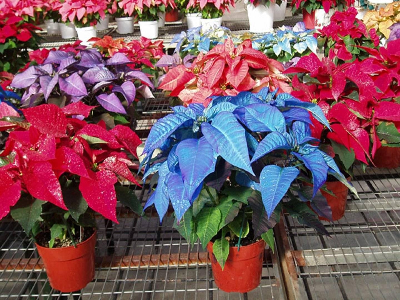 Цветок пуансетия: описание с фото и названиями, выращивание и уход в домашних условиях после покупки, пересадка и размножение, как обрезать