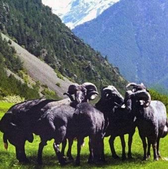 Карачаевская овца — википедия. что такое карачаевская овца