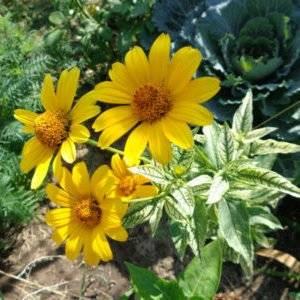 Гелиопсис: выращивание из семян, черенкование и деление куста   сажаем сад