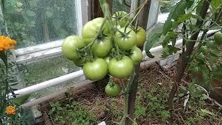Сорт помидоров космонавт волков: урожайный, крупноплодный, вкусный