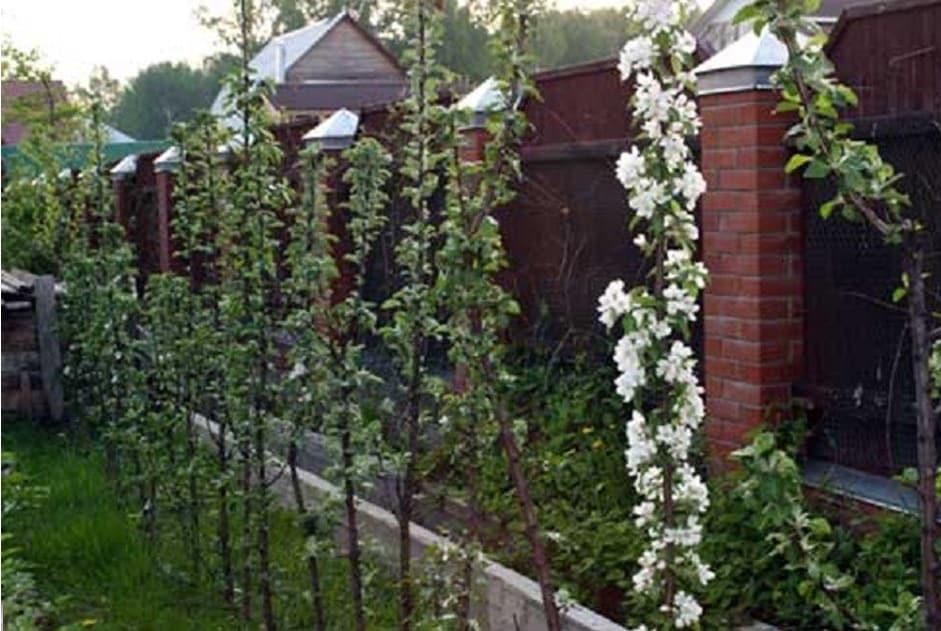 Колоновидные абрикосы: преимущества и недостатки. все про посадку и уход | огородники