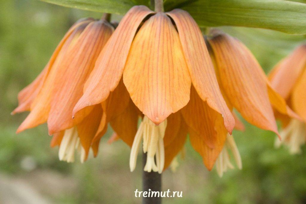 Рябчик цветок — фото, посадка и уход в открытом грунте, размножение