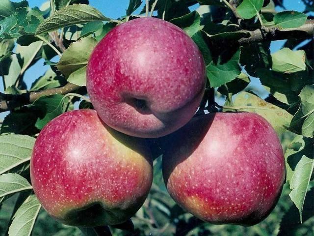 Яблоня черный принц: описание сорта яблок, посадка + фото отзывы