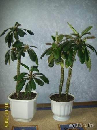 Комнатное растение похожее на пальму — виды и названия