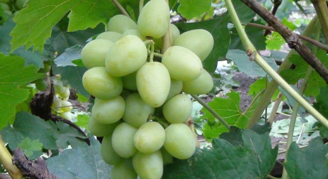 ᐉ адари - виноград - roza-zanoza.ru