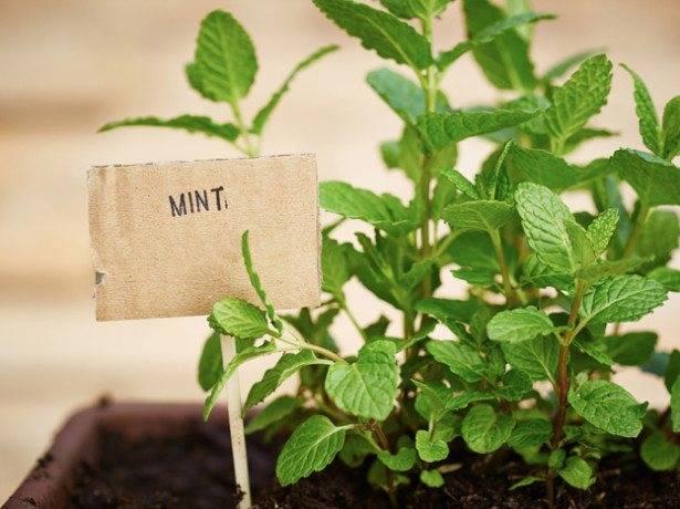 Мята: посадка и уход в открытом грунте, выращивание на подоконнике