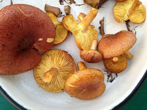 Как отличить грибы рядовки съедобные от ядовитых? виды грибов рядовок: фото с названиями, описание