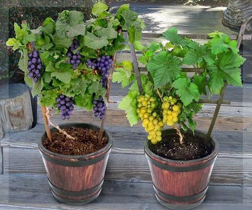 Виноград ланселот: описание сорта, фото