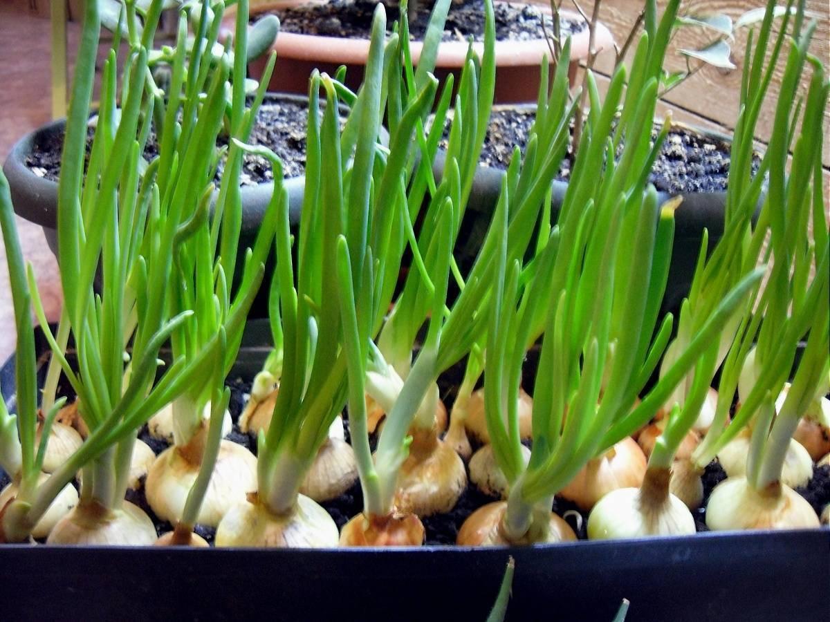 Правильная подкормка лука: залог высокого урожая