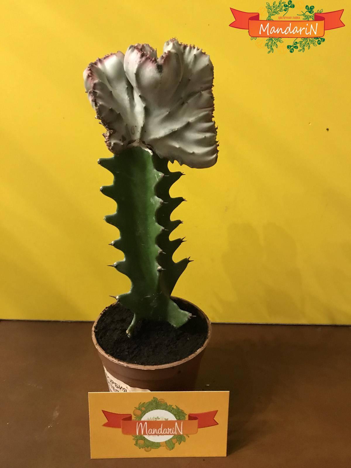Эуфорбия кристата – кактус вашей мечты