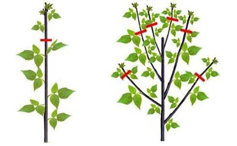 Когда и как правильно обрезать малину осенью, весной и летом?