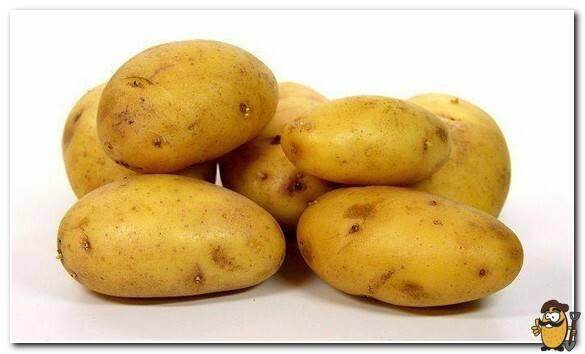 Аппетитный и нежный сорт для жарки и варки — картофель колобок: описание и характеристика