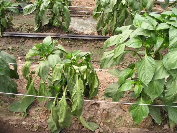 Почему сохнет и скручивается рассада и как помочь растениям: советы опытных огородников