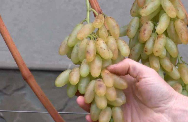 Виноград «дамские пальчики», описание сорта с фото и видео