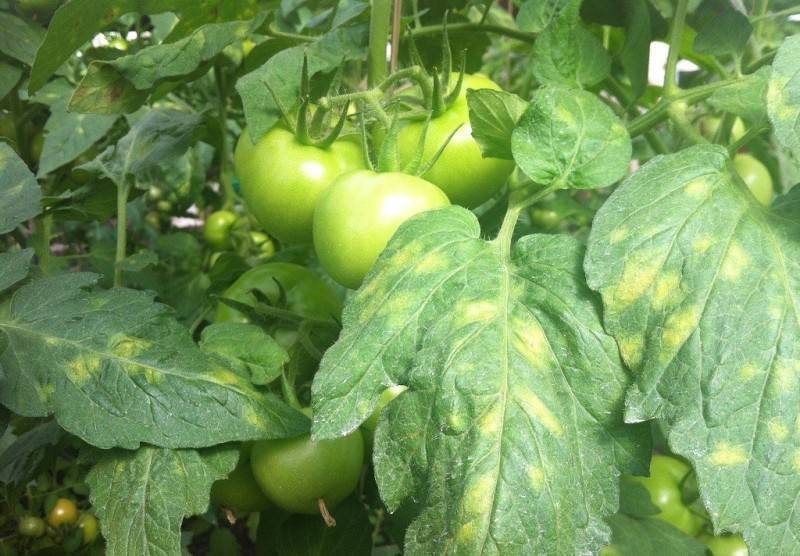 Причины появления белых пятен на рассаде томатов и лечение