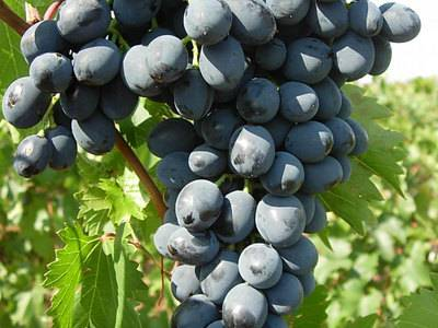 Разновидность винограда кишмиш аттика — посадка и уход