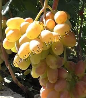 Виноград виктор: характеристика и описание сорта