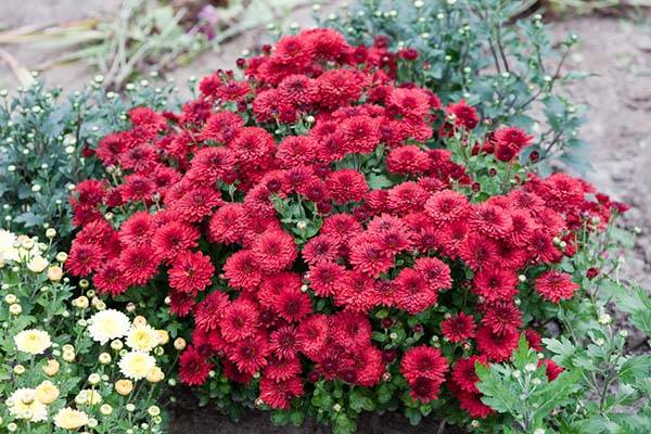 Как правильно посадить хризантему весной, на каком расстоянии сажать, подкормка