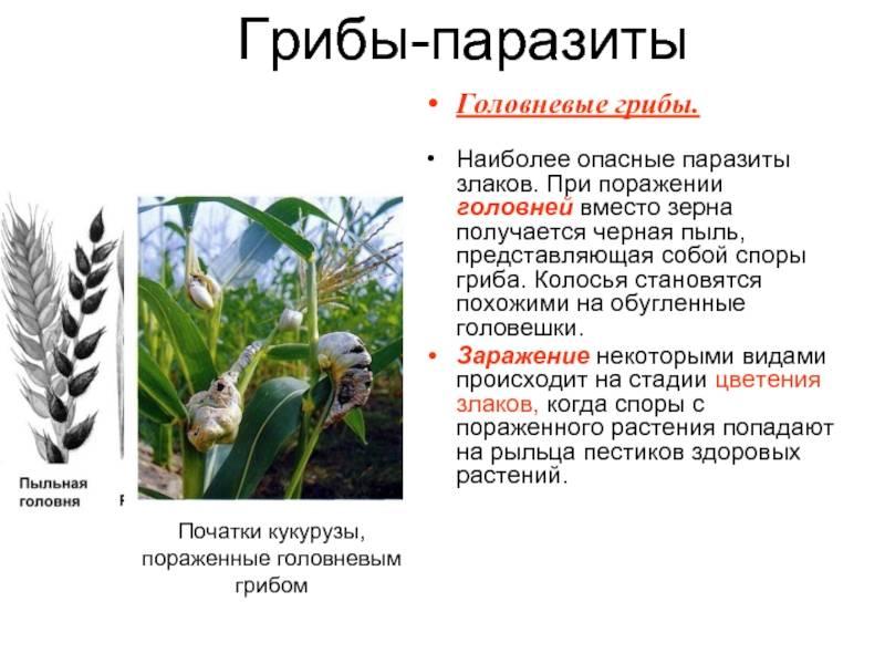 Головневый гриб - мыдачники