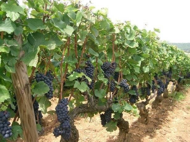 Укоренение черенков винограда самые простые и надежные способы