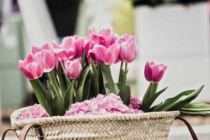 Как ухаживать за тюльпанами в вазе, чтобы сохранить их дольше всего: советы.  в какую воду, какой температуры лучше ставить срезанные тюльпаны, и что нужно добавить в воду для тюльпанов, чтобы они подольше простояли? как часто менять воду в тюльпанах?