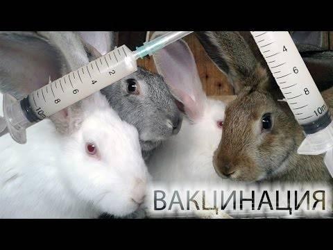 Какие и когда делают прививки кроликам