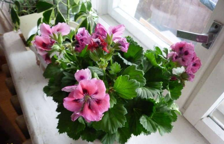 Цветок «Пеларгония»: описание, фото, уход в домашних условиях